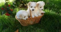 Auf dem Bild sind drei niedliche Hundewelpen in einem Weidenkorb auf der Wiese der nicht so gut für den Transport geeignet ist wie eine Hundetransportbox gulliver von trixie
