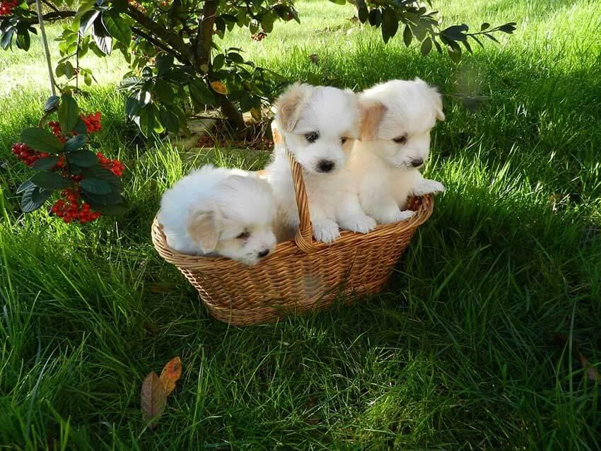 Auf dem Bild sind drei niedliche Hundewelpen in einem Weidenkorb auf der Wiese der nicht so gut für den Transport geeignet ist wie eine Trixie Transportbox