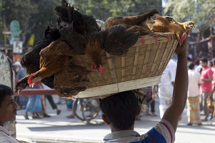 Das Bild zeigt einen Mann der einen Korb auf dem Kopf mit Hühner trägt. Hier könnten die Vögel fliehen, das sie nicht in einem Vogelkäfig sind.