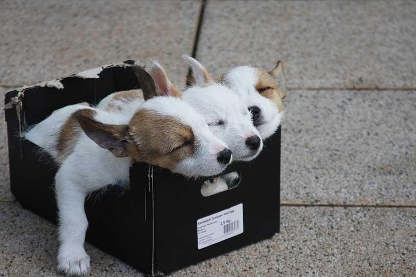 Auf dem Bild sieht man 3 niedliche Hundewelpen, die in einem kleinen Pappkarton liegen uns zusammengekuschelt schlafen - obwohl eine solcher Karton als Tiertransportbox nicht so gut geeigent ist wie eine richtige Transportbox für tiere