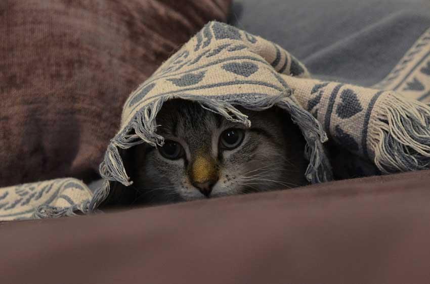 Die Katze in die Transportbox bekommen: Das Bild zeigt eine Katze, die sich im Spiel unter einer Decke versteckt