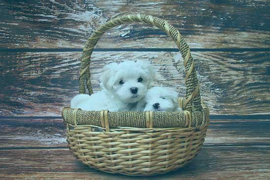 transportbox-kaufen.de zeigt 2 süße weiße Hunde, die in einem Weidenkorb sitzen