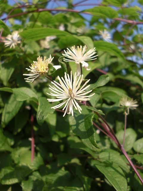 Es gibt viele Sorten der Bachblüten für Katzen. Abgebildet ist hier die Clematis Waldrebe.